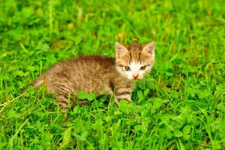 Kitten on green grass close up, shallow deep of field. photo