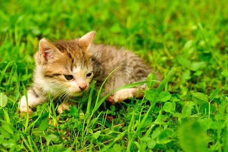 Kitten on green grass close up, shallow deep of field. Stock Photo - 7229120
