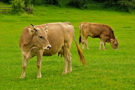 calves: Cow lick itself and calf graze on the grass with yellow flowers in the summer