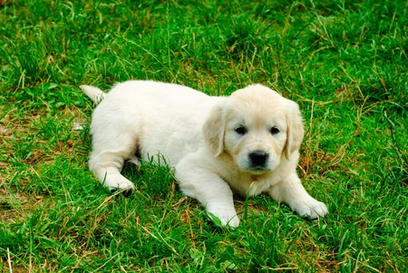Golden retriever puppy is laying on the grass photo
