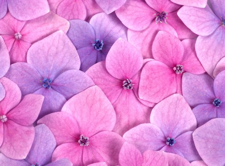 hydrangea: Pink flower background close up. Romantic and love pattern