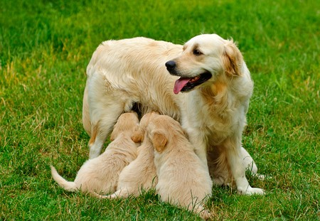 Golden retriever puppy is sitting in the grass photo
