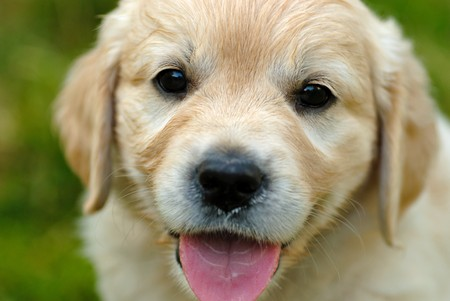 Golden retriever puppy is sitting in the grass Stock Photo - 7642561