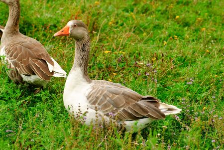 Gooses are grazing on the grass, agriculture Stock Photo - 7642563