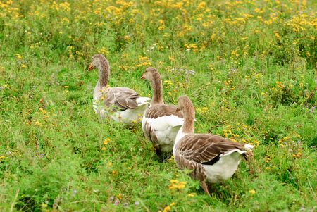 Gooses are grazing on the grass, agriculture photo