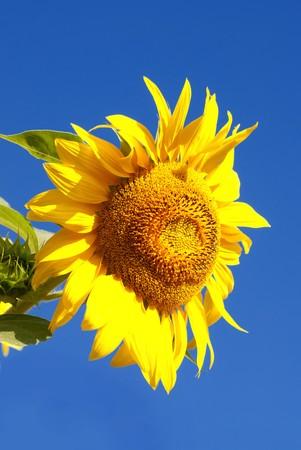 Sunflower in field on deep blue sky background photo