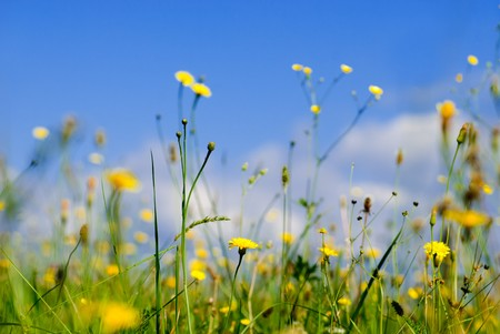Wild yellow flowers and blue sky from low point of view, shallow deep of field Stock Photo - 7642556