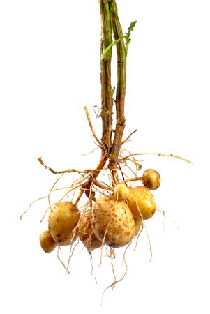 Potato with root close up isolated on white photo