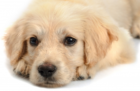 Golden retriever puppys snout close up  isolated on white background photo