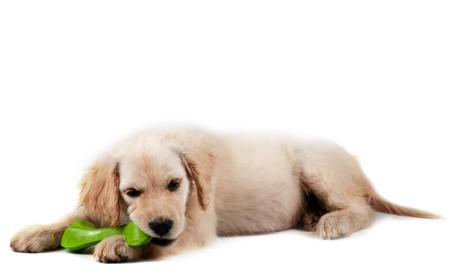 labrador puppy: Golden retriever puppy  isolated on white background Stock Photo
