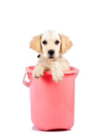 Golden retriever puppy in bucket isolated on white background photo