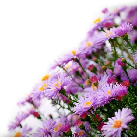 Lilac daisy flowers over white background in sunny day. Selective focus. Postcard photo