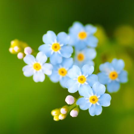 草原の植物の背景: 青い小さな花のクローズ アップと緑の草です。浅い自由度