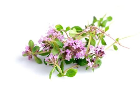 tomillo: flores de hierba de tomillo fresco aislados en blanco  Foto de archivo