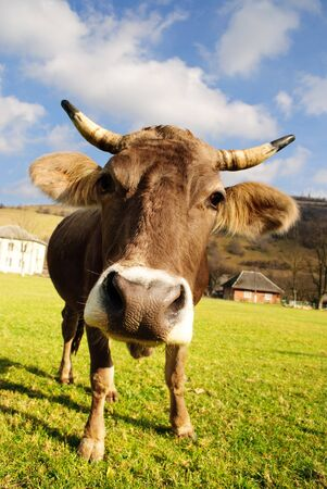 cow teeth: distorted brown cow on green grass and blue sky background Stock Photo