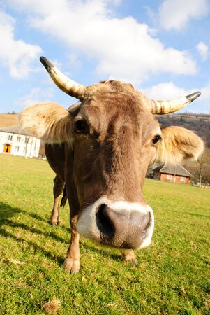 perversion: distorted brown cow on green grass and blue sky background Stock Photo