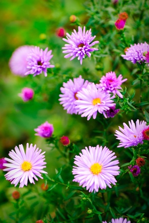 Lilac daisy flowers over green defocused natural background in sunny day. Selective focus. Postcard photo
