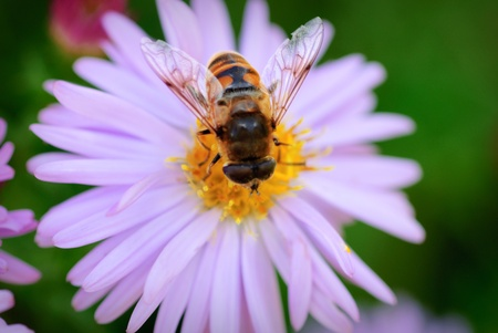 Bee on Michaelmas daisy. Close up flower head, shallow deep of field photo