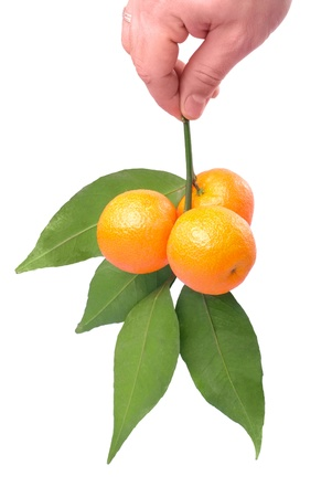 Branch of tangerines in male hand isolated on white photo