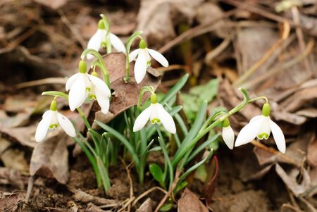 First snowdrop grows through old leaf. Shallow deep of field. photo