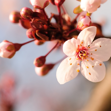 stamens: Asian plum blossom macro. Shallow deep of field. Focus on stamens