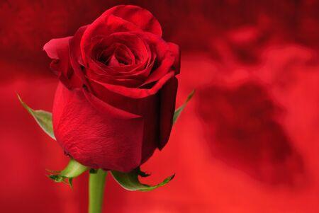 red rose bokeh: Red rose close up on defocused background