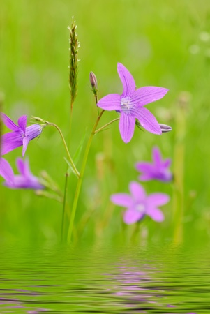 Meadow plant background: purple flowers and green grass. photo