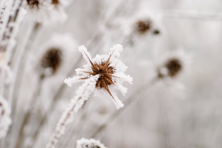 Bur on the frost in winter day, close up photo