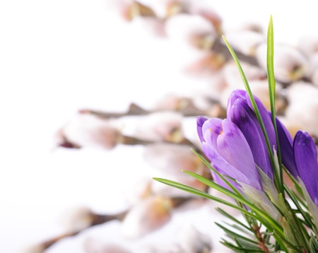 Crocus close up on pussy willow background. Spring concept photo