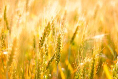 Ripe wheat background. Close up ears Stock Photo - 9086973