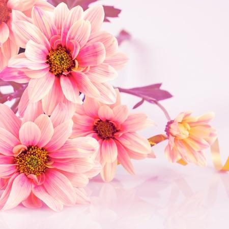 crisantemos: Rosa Margarita, antiguo estilizada. Bodeg�n en blanco