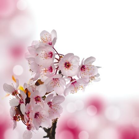 アップル ブロッサム マクロ。フィールドの浅い深さ。花に焦点を当てます。背景の美しいボケ味。