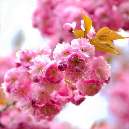 Sakura blooming tree in spring. Shallow DOF Stock Photo