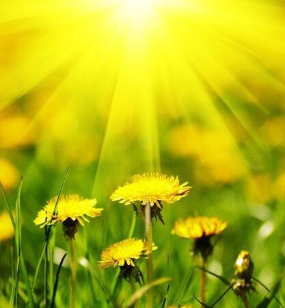 dandelion flower: Dandelion field. Shallow deep of field.