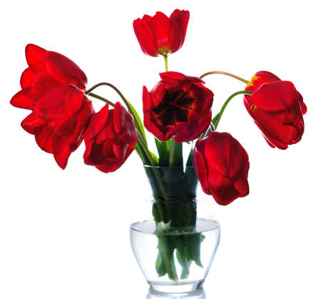 Red tulips isolated on white. Spring background photo