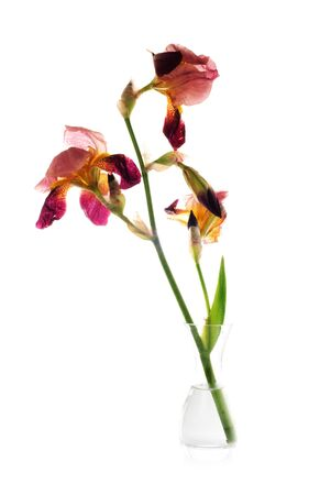 blueflag: Iris marchito p�rpura en florero aislado en blanco