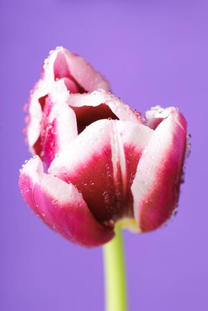 pink tulip head with water drops on violet photo