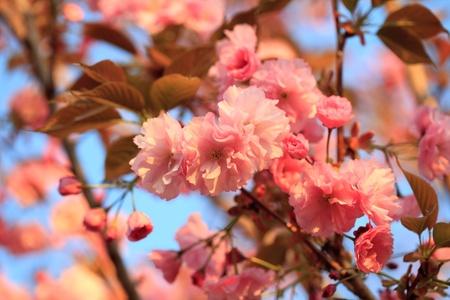 almond bud: Sakura blooming tree in spring. Shallow DOF Stock Photo