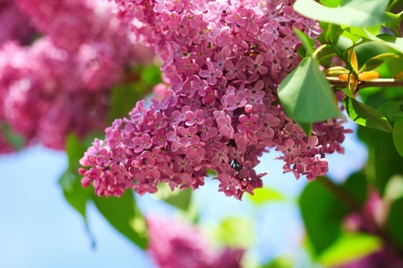 Lilac branch over blue sky, springtime photo