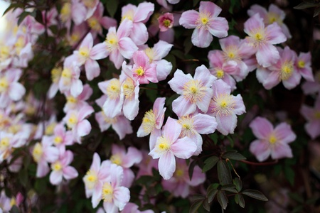 clematis flower: Blooming of pink Clrmatis Montana close up Stock Photo