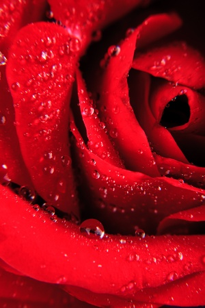 Red rose with water drops close up Stock Photo - 9681356