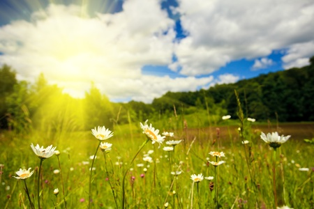 yellow daisy: Ox-eye daisies in the meadow and deep blue sky lanscape Stock Photo