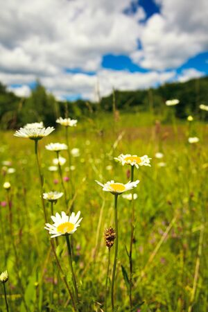 Ox-eye daisies in the meadow and deep blue sky lanscape Stock Photo - 9800894