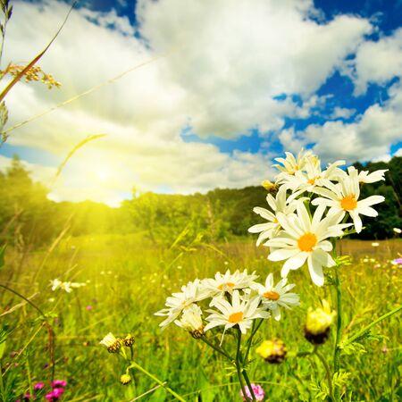 fiori di campo: Margherite occhio di bue nel prato e cielo blu profondo paesaggio