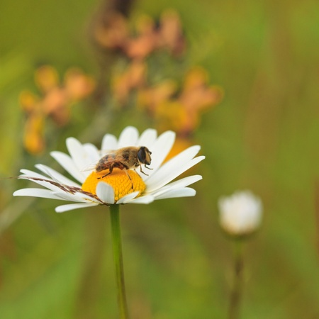 Bee on camomile close up outdoor photo