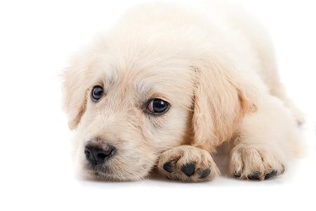 Golden retriever puppy  isolated on white background photo