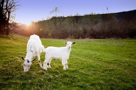 cabras: Cabra y goatling son pasto en sunset