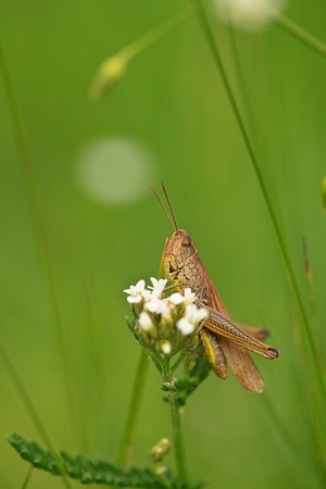 Grasshopper sit on flower close up in meadows photo