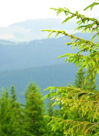 Part of pine tree against mountains background photo