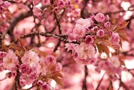 Sakura blooming tree in spring. Shallow DOF photo